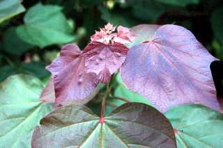 Катальпа краснеющая Purpurea