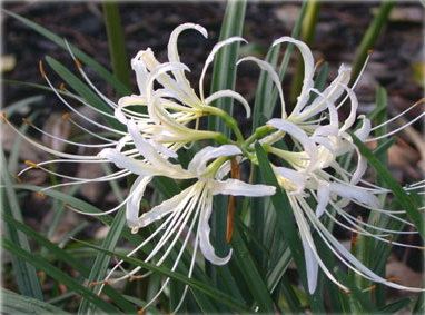 Ликорис белоцветковый