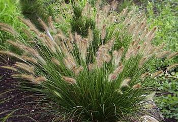 Пеннисетум  лисохвостовый