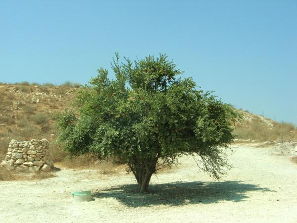 Гранат обыкновенный