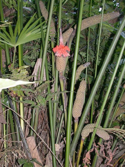 Карлудовика пальмовидная