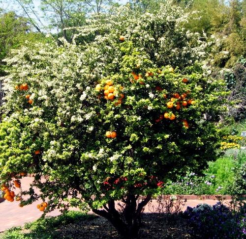 Мандарин оранжево-красный