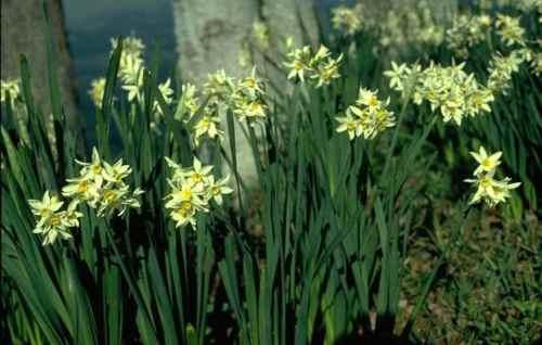 Нарцисс букетный