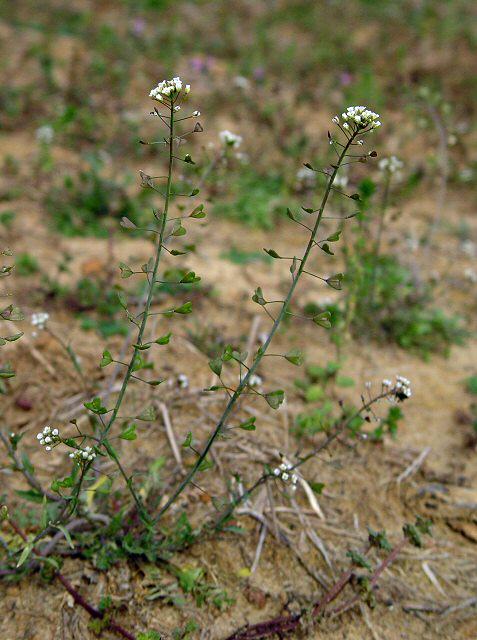 Пастушья сумка обыкновенная сapsella bursa-pastoris надзуна 3 - трава.
