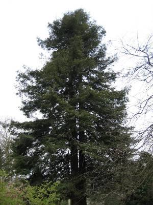 Секвойя вечнозелёная
