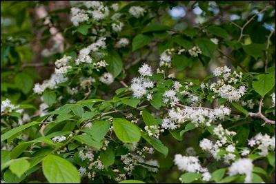 Симплокос китайский белоплодный ф. волосистый