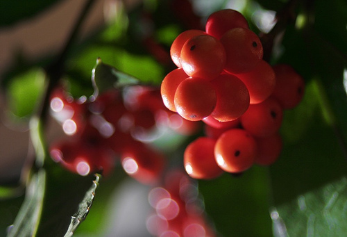 Хлорантус шершавый