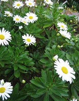 Хризантема ниппонская
