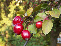 Яблоня обильноцветковая