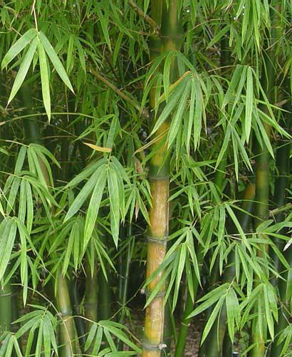 Бамбук обыкновенный