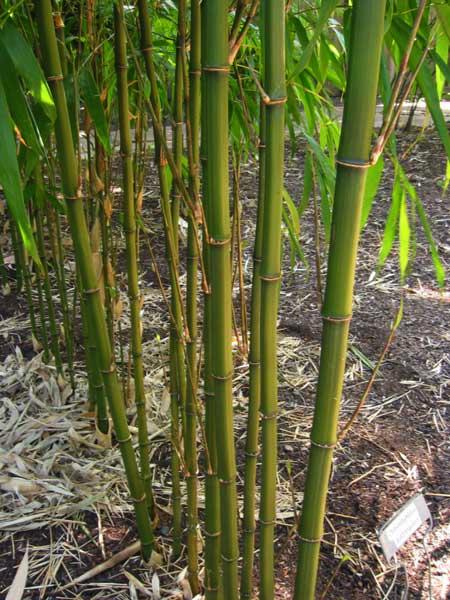 Бамбук четырёхгранный