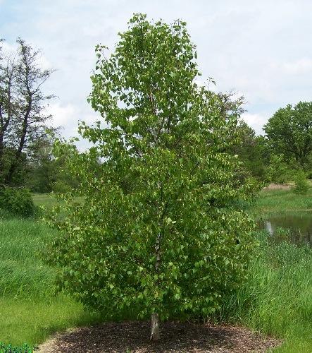 Берёза маньчжурская var. japonica
