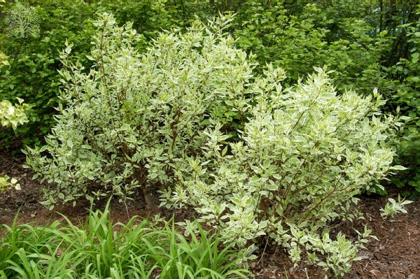 Дёрен белый Argenteo marginata