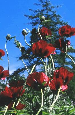 Мак прицветниковый Great Red