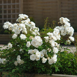 Роза морщинистая Alba-plena