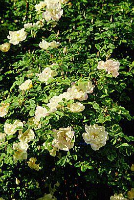 Роза парковая Nevada