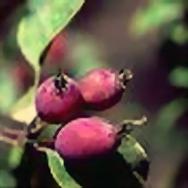 Яблоня Пратта
