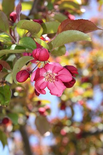 Яблоня сиккимская